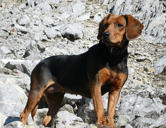 Picture of a tyrolean hound
