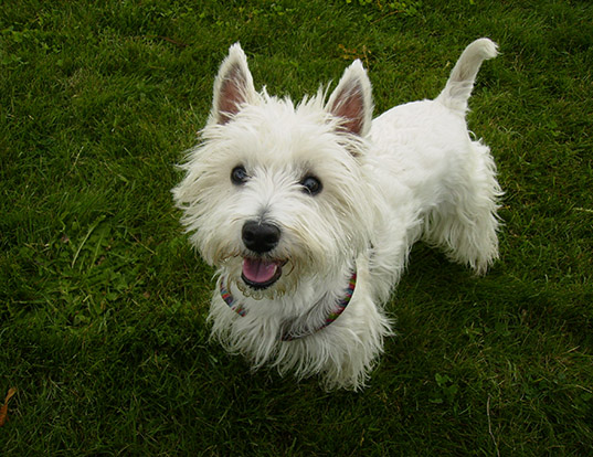Picture of a west highland white terrier