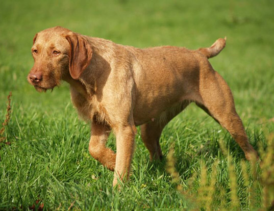 Picture of a wirehaired vizsla