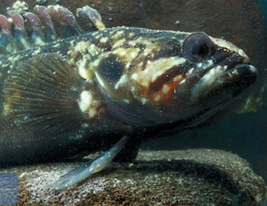 Picture of a rockfish (Acanthoclinus fuscus)