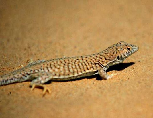 Picture of a leopard fringe-fingered lizard (Acanthodactylus pardalis)