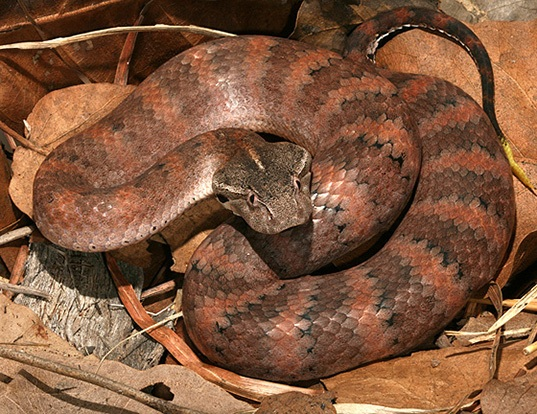 Picture of a new guinea death adder (Acanthophis laevis)