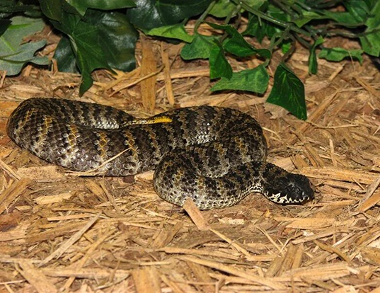 Picture of a rough-scaled death adder (Acanthophis rugosus)