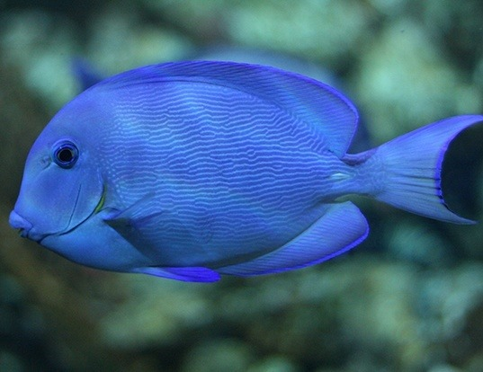 Picture of a blue tang surgeonfish (Acanthurus coeruleus)
