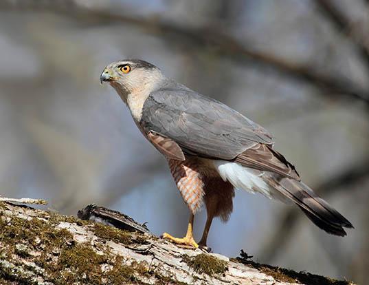 Picture of a cooper's hawk (Accipiter cooperii)