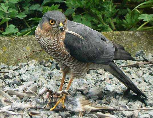 Picture of a eurasian sparrowhawk (Accipiter nisus)