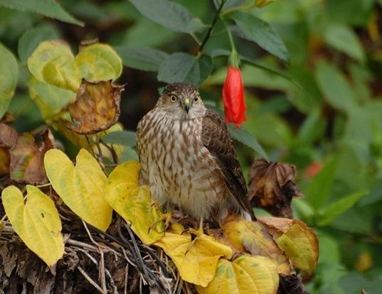 Picture of a sharp-shinned hawk (Accipiter striatus)