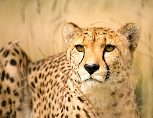 Picture of a cheetah (Acinonyx jubatus)