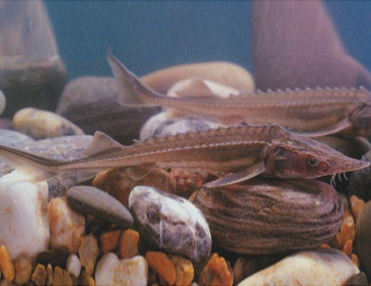 Picture of a amur sturgeon (Acipenser schrenckii)