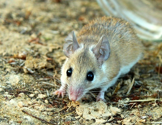 Picture of a northeast african spiny mouse (Acomys cahirinus)
