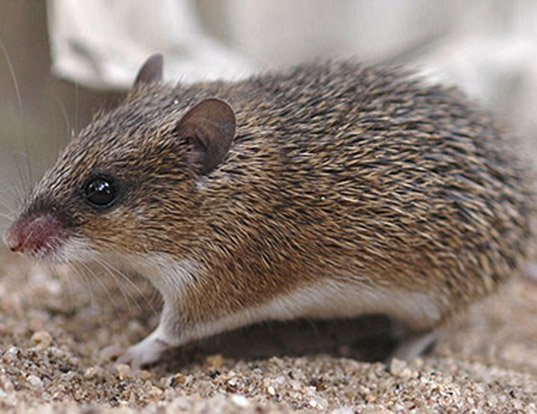 Picture of a wilson's spiny mouse (Acomys wilsoni)