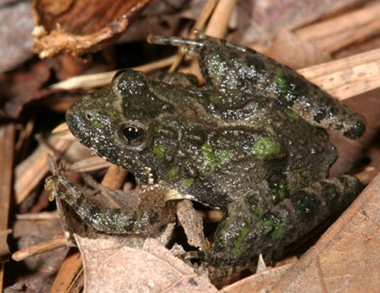 Picture of a northern cricket frog (Acris crepitans)