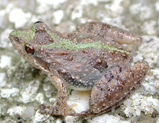 Picture of a southern cricket frog (Acris gryllus)
