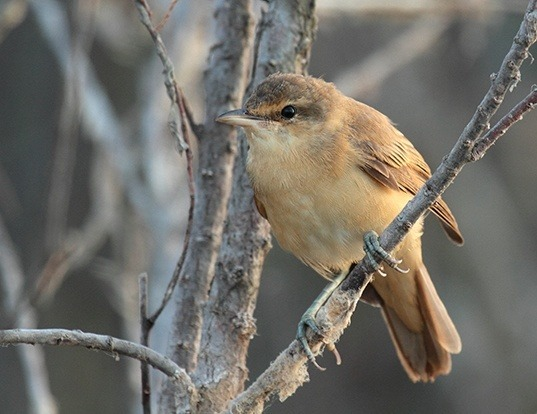 Picture of a great reed-warbler (Acrocephalus arundinaceus)