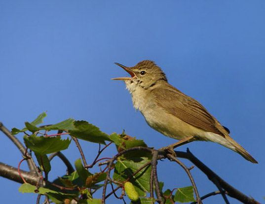 Picture of a blyth's reed-warbler (Acrocephalus dumetorum)
