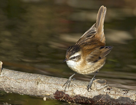 Picture of a moustached warbler (Acrocephalus melanopogon)