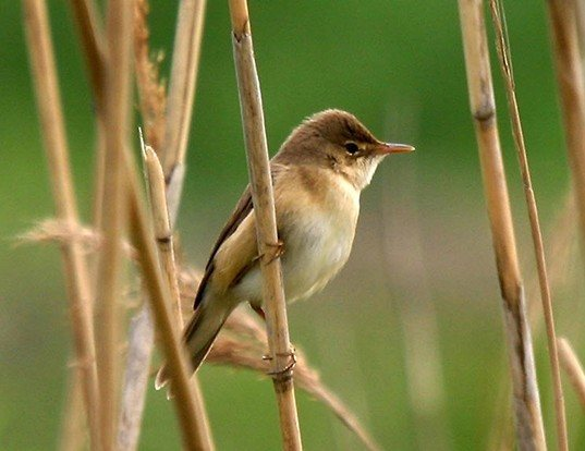 Picture of a eurasian reed-warbler (Acrocephalus scirpaceus)