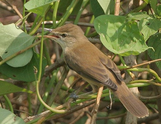 Picture of a indian reed warbler (Acrocephalus stentoreus brunnescens)