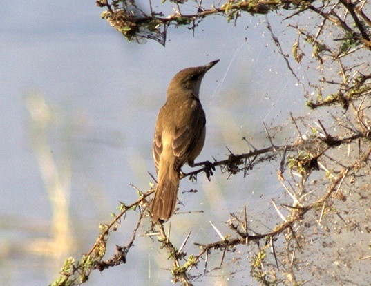 Picture of a clamorous reed-warbler (Acrocephalus stentoreus)