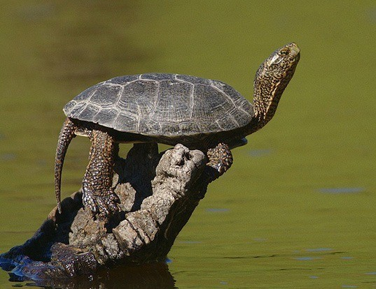 Picture of a pacific pond turtle (Actinemys marmorata)