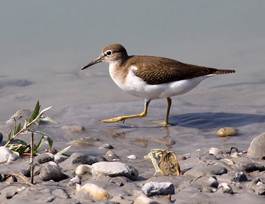 Picture of a sandpiper (Actitis hypoleucos)