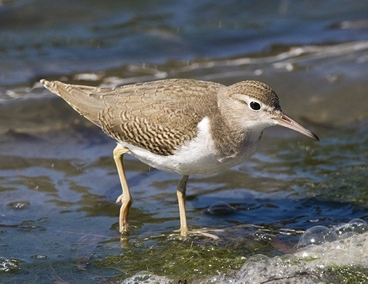 Picture of a spotted sandpiper (Actitis macularius)