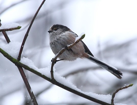 Picture of a long-tailed tit (Aegithalos caudatus)