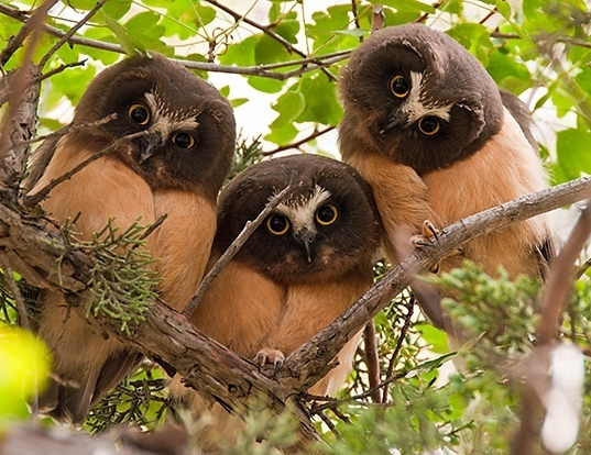 Picture of a northern saw-whet owl (Aegolius acadicus)