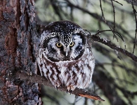 Picture of a boreal owl (Aegolius funereus)