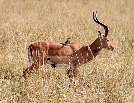 Picture of a impala (Aepyceros melampus)