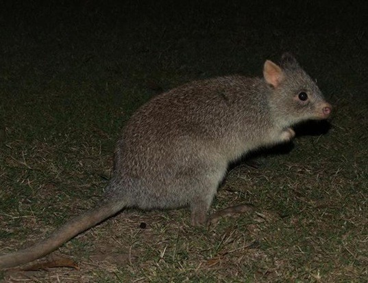 Picture of a rufous bettong (Aepyprymnus rufescens)