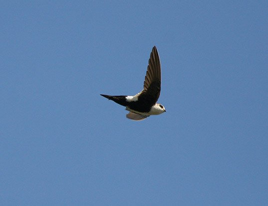 Picture of a white-throated swift (Aeronautes saxatalis)