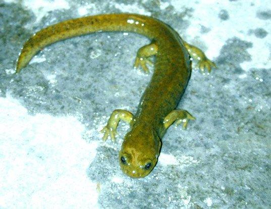Picture of a afghanistan salamander (Afghanodon mustersi)