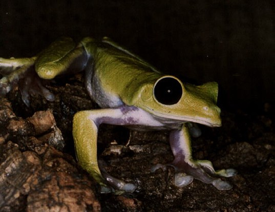 Picture of a pink-sided treefrog (Agalychnis litodryas)