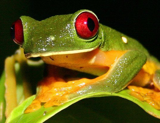 Picture of a gliding treefrog (Agalychnis spurrelli)