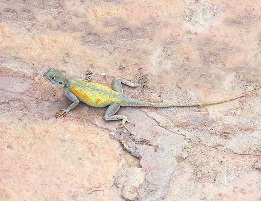 Picture of a bibron's agama (Agama impalearis)