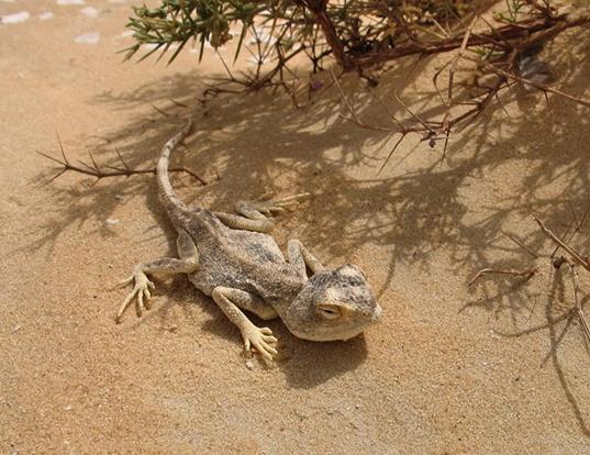Picture of a desert agama (Agama mutabilis)