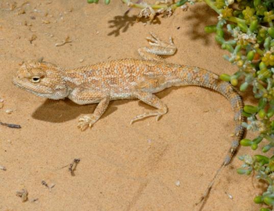 Picture of a savigny's agama (Agama savignyi)
