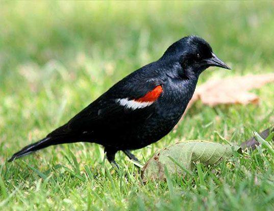 Picture of a tricoloured blackbird (Agelaius tricolor)