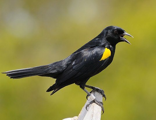Picture of a yellow-shouldered blackbird (Agelaius xanthomus)