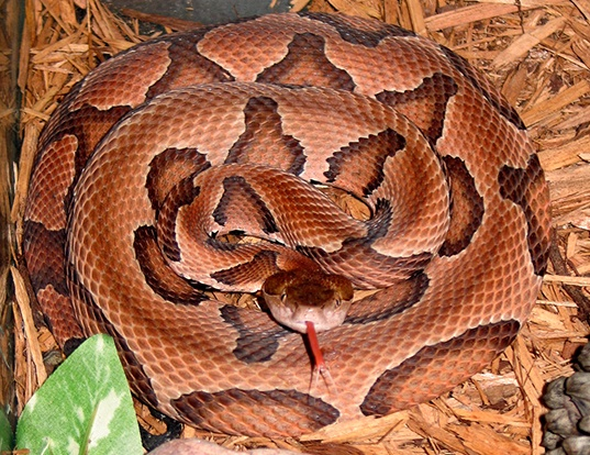 Picture of a southern copperhead (Agkistrodon contortrix contortrix)