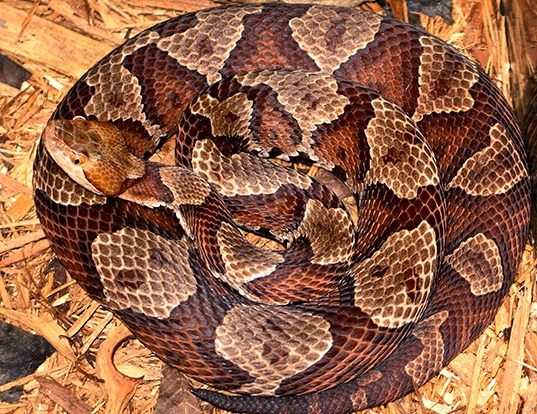 Picture of a highland moccasin (Agkistrodon contortrix mokasen)