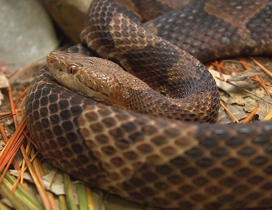 Picture of a northern copperhead (Agkistrodon contortrix)