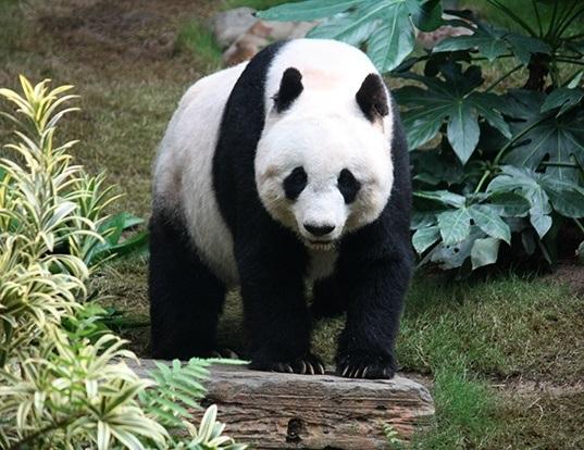 Picture of a giant panda (Ailuropoda melanoleuca)