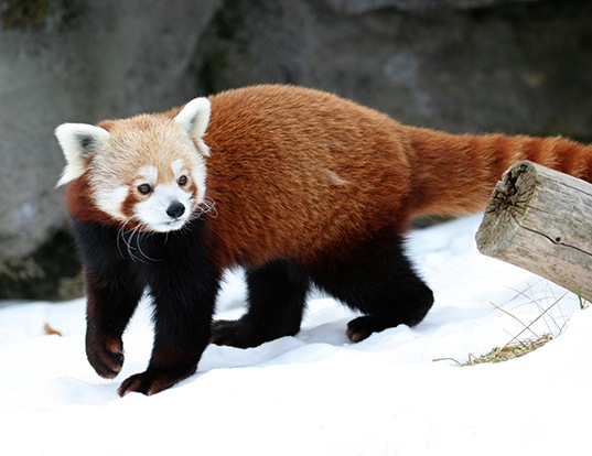 Picture of a red panda (Ailurus fulgens)