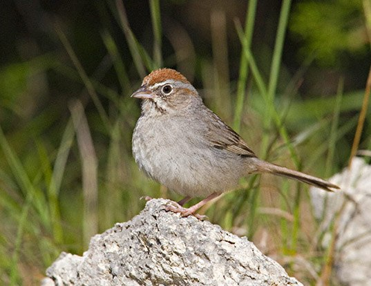 Picture of a rufous-crowned sparrow (Aimophila ruficeps)