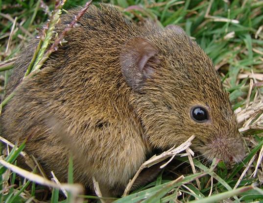 Picture of a azara's grass mouse (Akodon azarae)