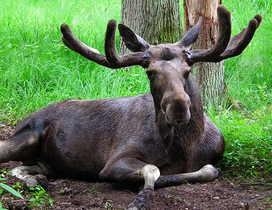 Picture of a moose (Alces alces)