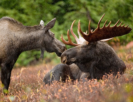 Picture of a siberian elk (Alces americanus)