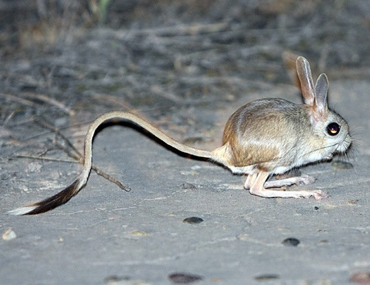 small five toed jerboa life expectancy